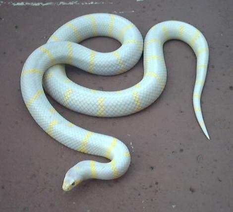 Lia's pet Albino king snake, Johnson