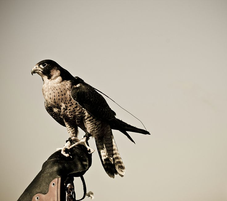 photography © Àlex Reig 2014 #photography #bird #art #hawk