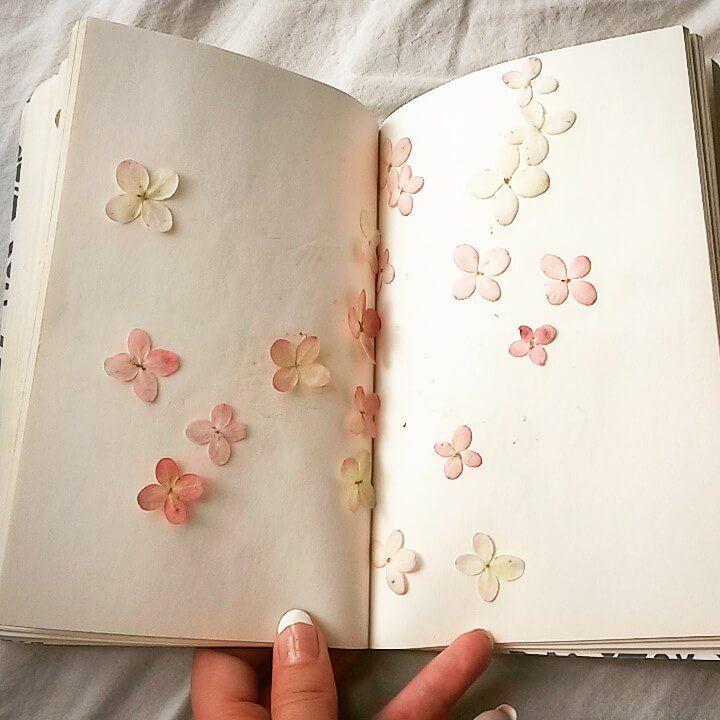 Kirjan välissä vaaleanpunaisia romanttisia hortensia kukkia
