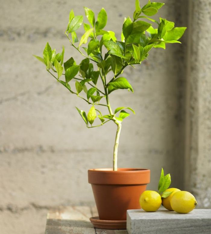 Organic Meyer Lemon Topiary