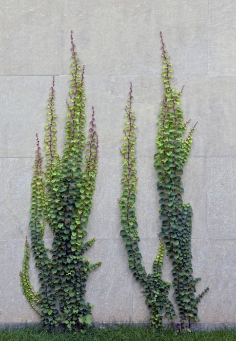 creeping fig - for wall in window planting are you can see from inside house.