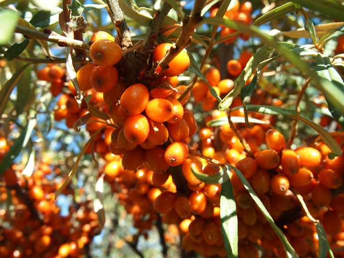 Seabuckthorn http://springridge.rd123.ca/?page_id=853