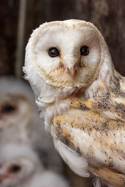 Barn Owl by david_j_boorman