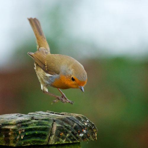 Robin coming in to land (either that or it's a very rare Hover Robin)