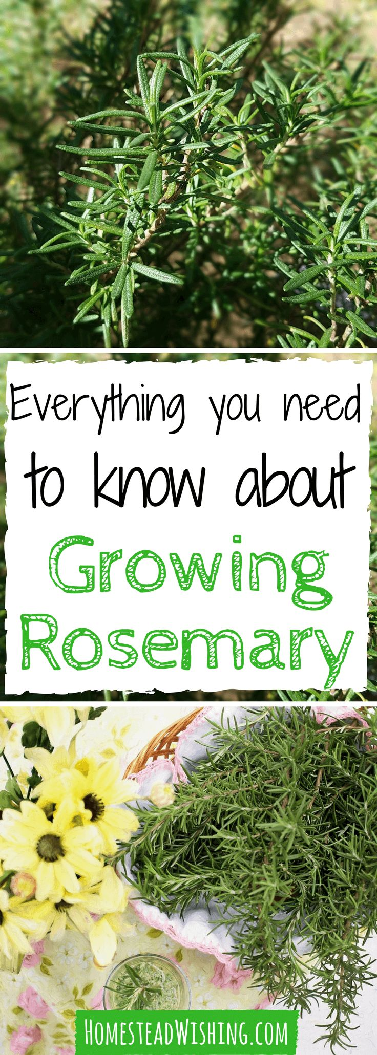 When I first started growing rosemary, I had a hard time. In fact, I killed a few plants at first. Trial and error showed me the way, now I'll show you!   Homestead Wishing, Author Kristi Wheeler   http://homesteadwishing.com/growing-rosemary/   growing-rosemary, herb-gardening  