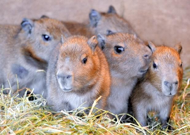 25+ Best Ideas about Baby Capybara on Pinterest | World's ...