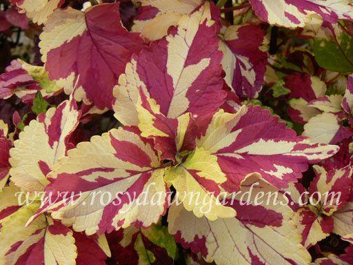 Finger Paint Coleus | RosyDawnGardens.com : Online Coleus Plant Catalog | Rosy Dawn Gardens, | Coleus Growing Specialists