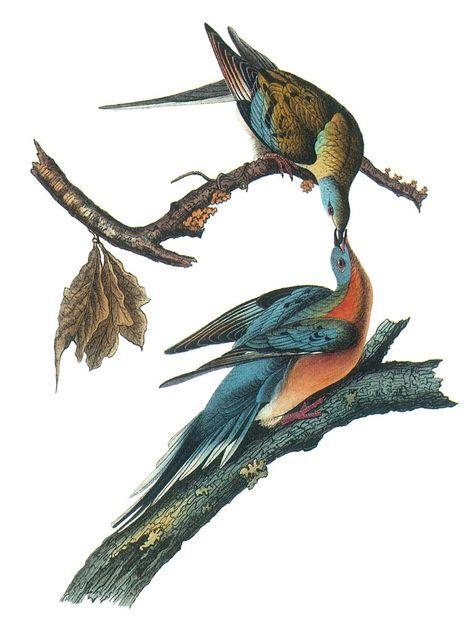 Pigeon animal totem meaning