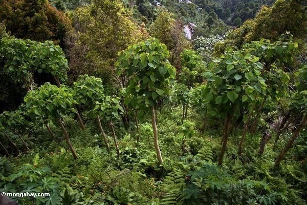Young teak trees (Sulawesi (Celebes)