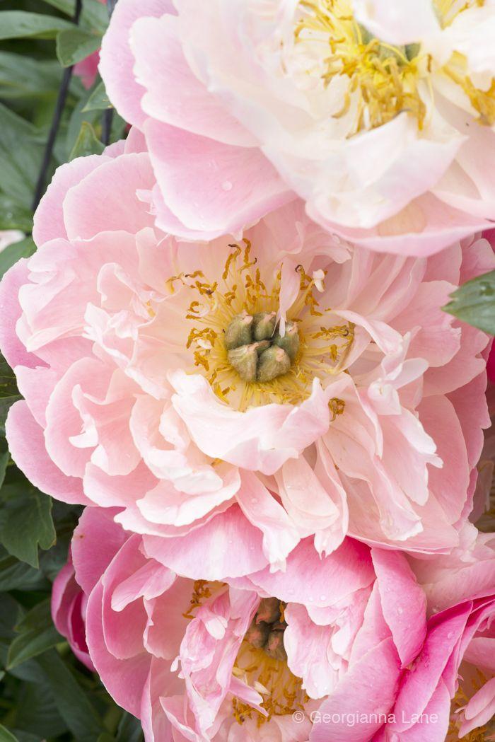 Common Garden Flowers Pink 168 best peonies images on pinterest | flowers, pink peonies and