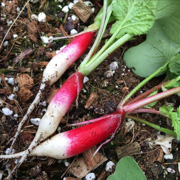 Radis Chandelle de la ferme urbaine Peas&Love