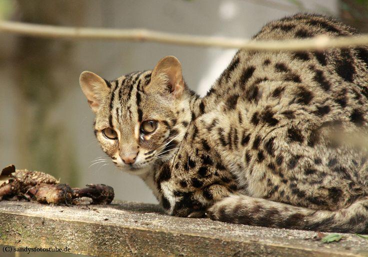 Leopardkatze / Bengalkatze http://fc-foto.de/36899018