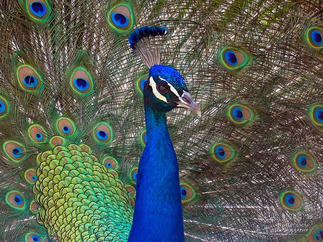 I'm sexy and I know it – Peacock strutting his stuff for the ladies at the Los Angeles County Arboretum.
