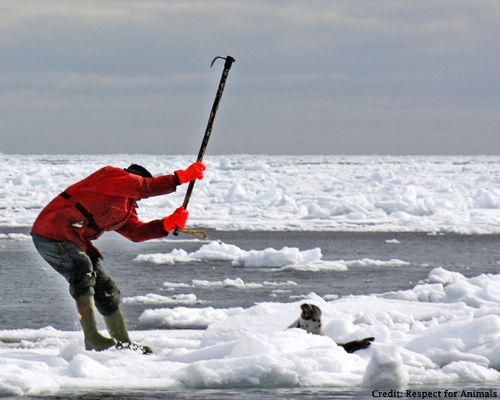 please sign and share! stop the seal Slaughter!