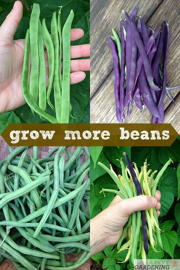 Growing Green Beans In Garden Beds And Containers Growing Green Beans Growing Greens Easy Vegetables To Grow