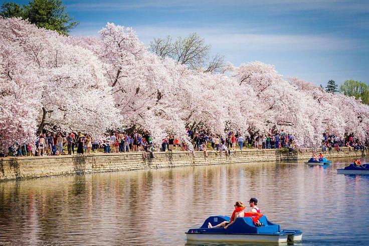 Capital dos EUA celebra primavera com festival das cerejeiras