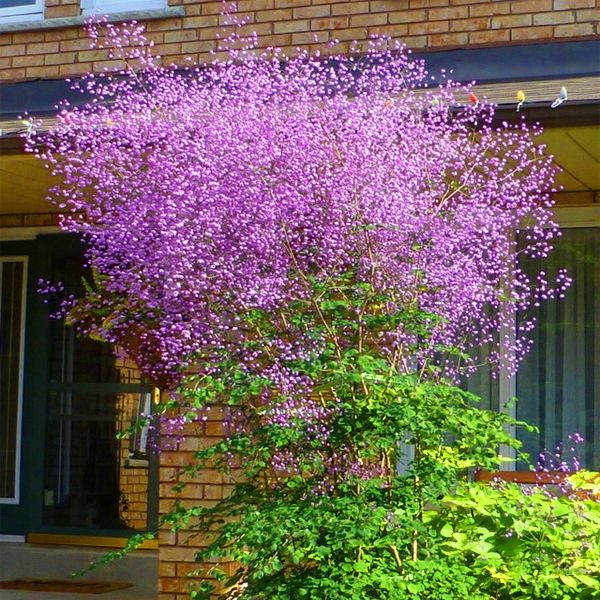 Chmura Kwiatow Bajeczna Rutewka Delavaya 7386028795 Oficjalne Archiwum Allegro Plants Aquaponic Gardening Landscape Design