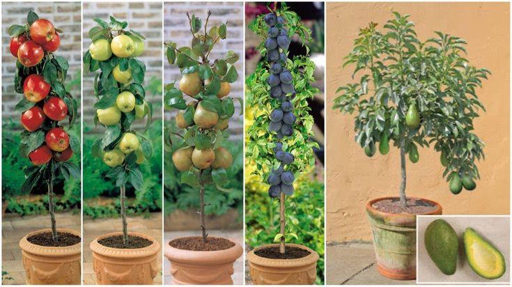 No Hace Falta Tener Un Gran Terreno Para Cultivar Árboles Frutales. ¡Mira Y Aprende Como Lo Puedes Hacer En Tu Casa!