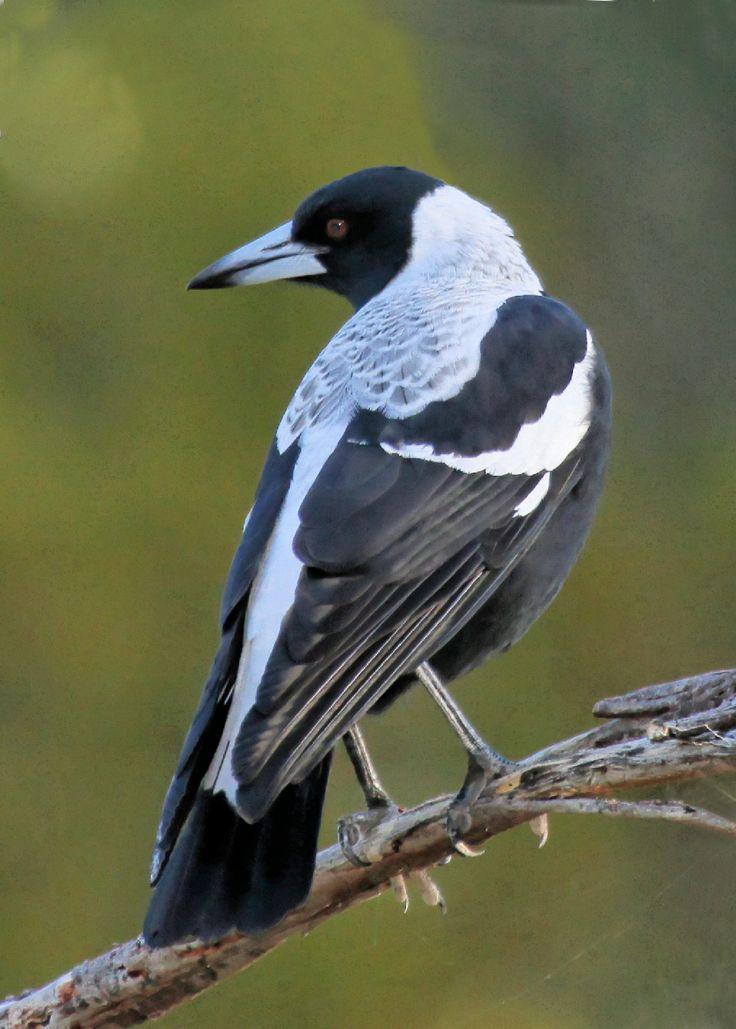 My favorite bird sound in Australia. Australian Magpie (Cracticus tibicen)