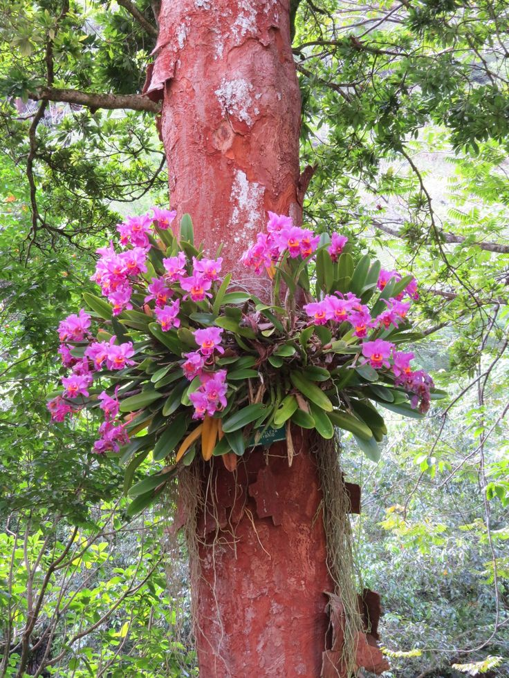 Hawaii gardeners make growing orchids on trees look so easy!