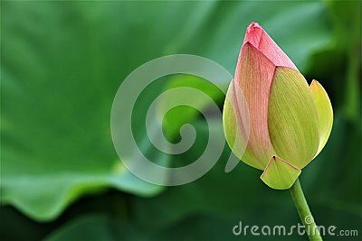 Lotus flower in full bloom. Lotus close up on dark blurry background. National flower of Vietnam and India. Symbol of purity, optimism and rebirth.   Beauty of nature. Giant water lily  flower. Summer season water flowers. Iconic flowers. Kenilworth Aquatic Gardens. Lotus bud.