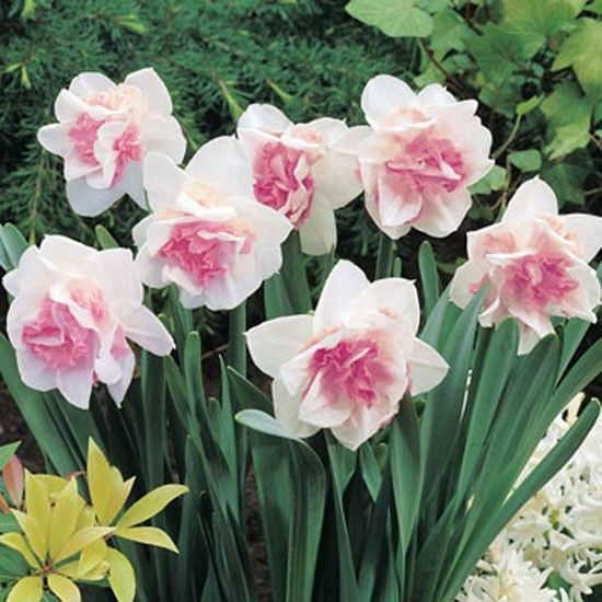 Narcissus 'Replete'  Undemanding and easy to grow, these pink daffodils are ideal for garden borders, rockeries and containers and can also be grown in bold drifts naturalised in grass. The double flowers are made up of pretty ruffles of pink petals and appear in March and April.