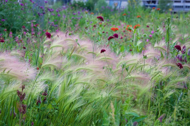 The grass, Hordeum jubatum, with Knautia macedonica, in the Fantasticology meadows, Olympic Park, from direct perennial seeding, 5 years ago | Nigel Dunnet