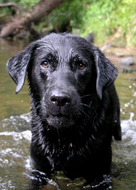 How to Care for a Labrador Retriever -- via wikiHow.com