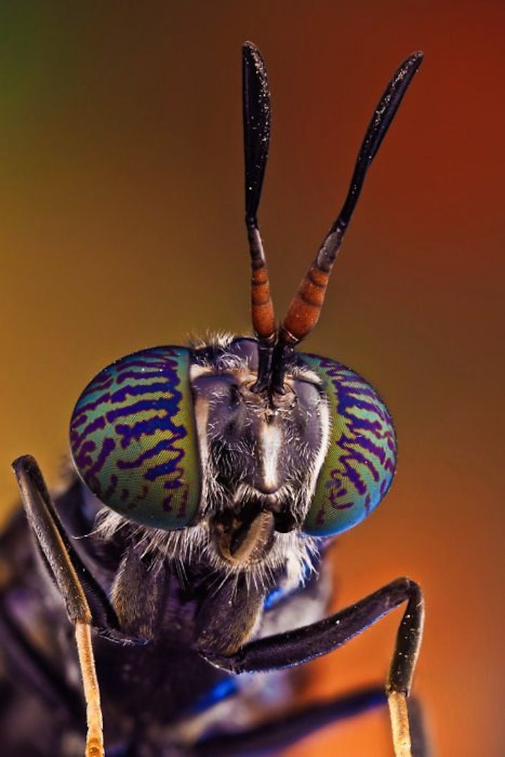 """Photograph taken by Javier Torrent - Fascinating image of Black soldier fly (Hermetia illucens) by Javier Torrent, Spanish photographer who has been lately focusing on extreme macro photography. Interesting fact that the larvae of the Black soldier fly is edible to humans, containing up to 42% of protein, lot of calcium and amino acids. Some years ago a table-top insect breeding farm called """"Farm 432"""" has been invented in which people can produce..."""