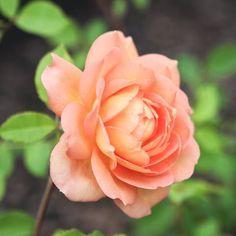 Peach rose lady of shallot