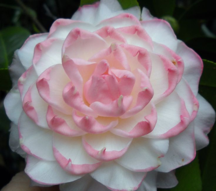 Camellia japonica 'Something Beautiful'
