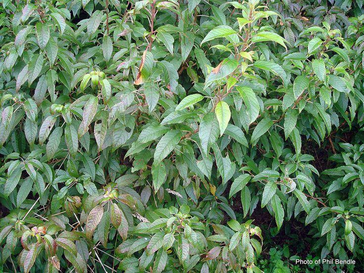 Fuchsia excorticata  - Tree Fuchsia, Kotukutuku/ Konini