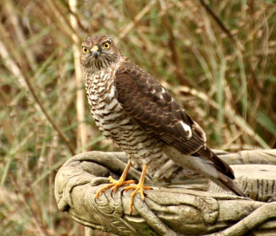 Sparrowhawk at Caister on Sea. Contributed by: Pat Adams