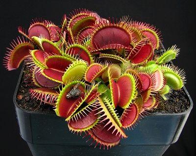 Masožravé rostliny neboli masožravky – zelení dravci v rostlinné říši
