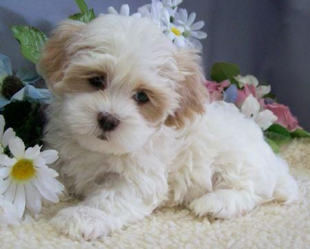 Shih Tzu  Maltese. That is so so cute. Please check out my website thanks. www.photopix.co.nz