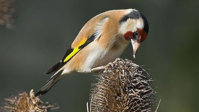 Goldfinch tucking into teasel seeds