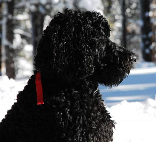 Goldendoodle Breeder, Goldendoodle Puppy Breeder, Black Goldendoodle, F1B Goldendoodle, F2B Goldendoodle, Goldendoodle Dog Breeder Ontario