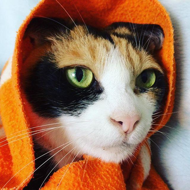 「真知子巻き」#ニャンコ#ねこさん#にゃんこ#pet#猫#ねこ#ネコ#にゃんだふるらいふ#ネコ部#ねこ部#にゃんすたぐらむ#ニャンスタグラム#cat#cats#可愛い#かわいい#かわいすぎる#三毛猫#飼い猫#美猫#美しい#cute#ねこ大好き#猫大好き#ねこ好き#猫好き#ねこちゃん#愛猫#猫と暮らす