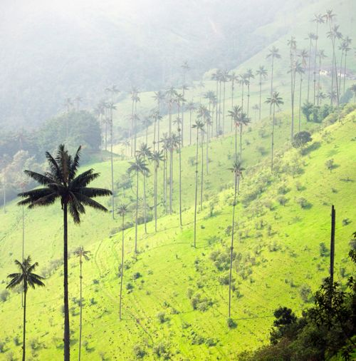 The Cocora valley (Valle de Cocora), Colombia | image by Diego Cupolo