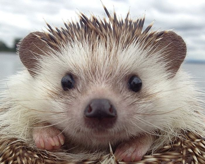 Extreme Close Up Of A Hedgehog S Face Unusual Pets Black Nose And Little Black Eyes Whiskers And Beige Brown Quills 동물 고슴도치 얼굴
