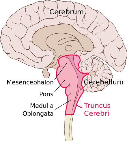 Hirnstamm (Truncus cerebri, rot umrandet)