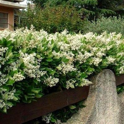 1217 best arbres et arbustes images on pinterest plants gardens and pine tree. Black Bedroom Furniture Sets. Home Design Ideas