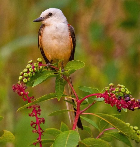 This Scissor-tailed Flycatcher, the state bird of Oklahoma, is perched on poke berries at Lake Thunderbird State Park in Norman. Photo by Lindell Dillon.