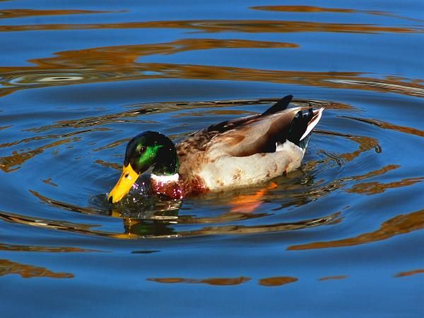 ... . The way that Mr. Menino took to drawing was like a '<b>duck</b> to <b>water</b>