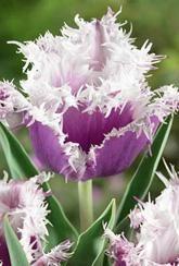 Tulip Cummins- Bulbs