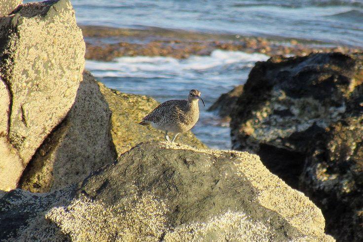 Aves en libertad. Gran Canaria-·  Zarapito trinador