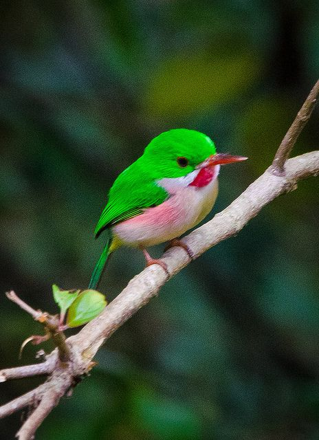 The Broad-billed Tody is one of the two species of tody native to the island of Hispaniola. It can be identified by its small size, stubby beak, ruby-red throat, and green back.