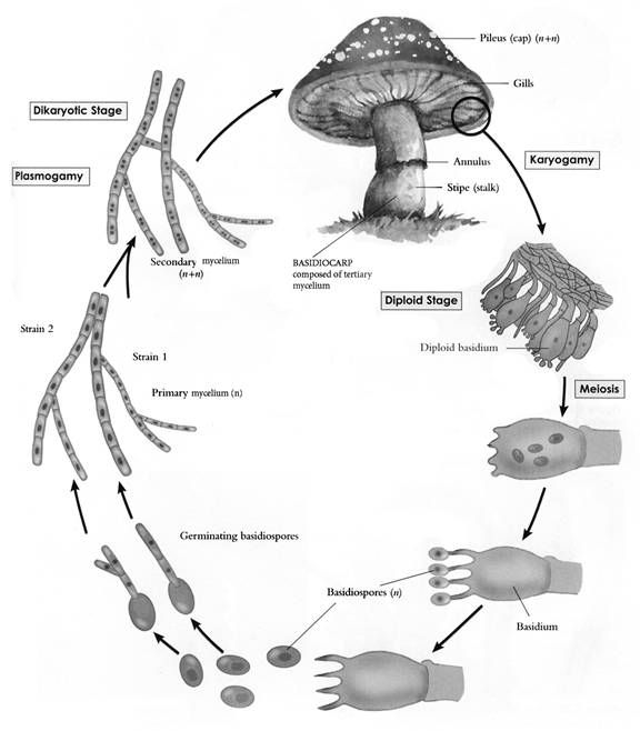 Basidiomycota Life Cycle