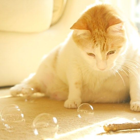 44.5K 個讚好,247 則回應 - Instagram 上的 黃阿瑪的後宮生活(@fumeancat):「 阿瑪:「看泡泡的朕⋯」#cat #ねこ #neko #貓 #猫 #고양이 #黃阿瑪的後宮生活 #fumeancats #fumeancats #阿瑪 」