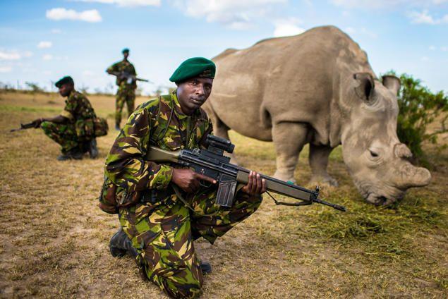 """Rhino Bodyguards""  Northern white rhinoceros ( Ceratotherium cottoni)  Location: Ol Pejeta Conservancy, Kenya  Emmanuel Rondeau (Lyon, France)"